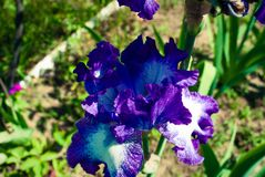 Błękitni kwiaty dziki irys, zakrywający z kroplami lato r zdjęcia stock