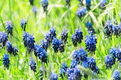 Błękitni kwiaty hiacyntowy muscari kwitnęli na zielonej łące w ea Obraz Royalty Free