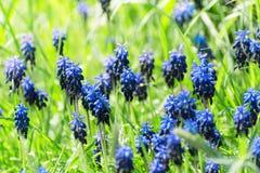 Błękitni kwiaty hiacyntowy muscari kwitnęli na zielonej łące w ea Obraz Stock