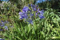 Błękitni kwiaty leluja Nil Obrazy Royalty Free