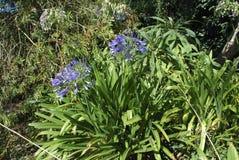 Błękitni kwiaty leluja Nil Fotografia Stock