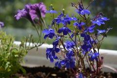 Błękitni kwiaty lobelia i zamazani petunia kwiaty na tle obraz royalty free
