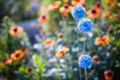 Błękitni kwiaty w lato ogródzie Obraz Royalty Free