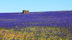Błękitni Lechenaultia Wildflowers Geraldton Zdjęcia Stock