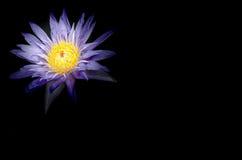 Błękitni Lotosowi kwiaty w stawie na szarym tle Zdjęcia Royalty Free
