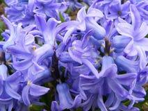 Błękitni lub fiołkowi hiacynty makro- Tapeta, kwiecista Zdjęcie Royalty Free
