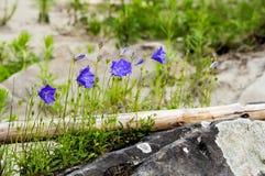 Błękitni mali kwiaty Obraz Royalty Free