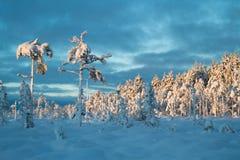 Błękitni momentów drzewa z ciężkim śniegiem fotografia stock