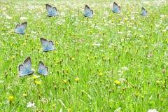 Błękitni motyle lata na zielonym łąkowym tle Fotografia Royalty Free
