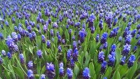 Błękitni muscari kwiaty fotografia royalty free