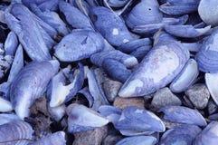 Błękitni Mussels obraz royalty free