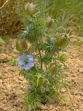 Błękitni nigella kwiaty Zdjęcia Royalty Free