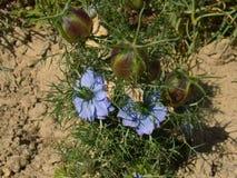 Błękitni nigella kwiaty Obrazy Stock