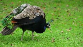 Błękitni pawi łowieccy insekty na zielonej trawie, kolorowy ptak zbiory