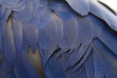 Błękitni piórka Piękna papuga obrazy royalty free