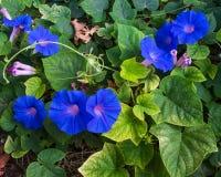 Błękitni ranek chwały kwiaty Zdjęcie Royalty Free