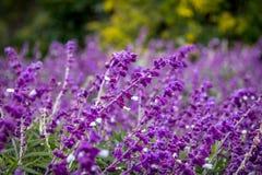Błękitni szałwii purpur kwiaty Obrazy Royalty Free