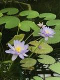 Błękitni waterlilies, święty lotos Fotografia Royalty Free