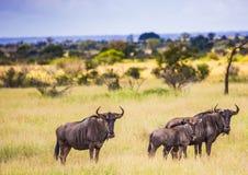 Błękitni Wildebeests przy Kruger parkiem narodowym Zdjęcia Royalty Free