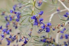 Błękitni Wildflowers w Pełnym kwiacie na Pustynnej podłoga Obraz Royalty Free