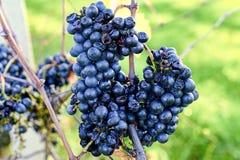 Błękitni winogradów winogrona Winogrona dla robić lodowemu winu Szczegółowy widok zamarznięci gronowi winogrady w winnicy w jesie Obraz Royalty Free
