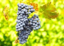 Błękitni winogrona Zdjęcia Royalty Free