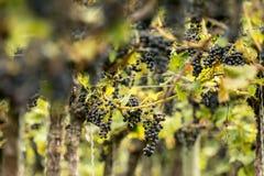 Błękitni winogrona & x28; Vitis - Vinifera & x29; Obraz Royalty Free