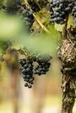 Błękitni winogrona & x28; Vitis - Vinifera & x29; Zdjęcia Stock