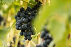Błękitni winogrona & x28; Vitis - Vinifera & x29; Obraz Stock