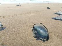 Błękitni wojenni Jellyfish w piasku Obraz Stock