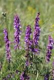 Błękitni wyka kwiaty Obraz Stock