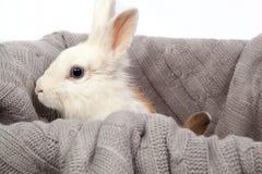 Błękitnooki biały puszysty królik na popielatym koszu Zdjęcia Royalty Free