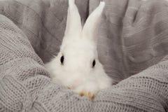 Błękitnooki biały puszysty królik na popielatym koszu Obraz Stock