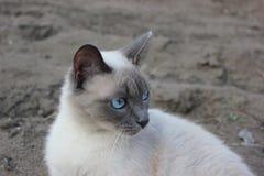 Błękitnookiego kota siedzący outside Zdjęcia Royalty Free