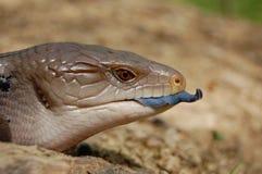 błękitny łaciński imię scincoides skink tiligua jęzor Zdjęcie Stock