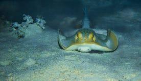 Błękitny łaciasty manta promień Zdjęcia Royalty Free