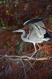 błękitny łopotania czapli skrzydła Zdjęcie Royalty Free