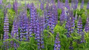 Błękitny łubin Kwitnie w łące zbiory
