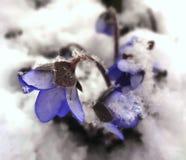 błękitny śnieżyczki Fotografia Royalty Free