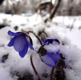 błękitny śnieżyczki Zdjęcie Royalty Free