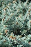 Błękitny świerkowy tło, pionowo Zdjęcie Royalty Free