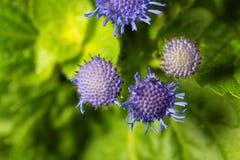 Błękitny świrzepy Ageratum houstonianum Fotografia Stock