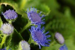 Błękitny świrzepy Ageratum houstonianum Obraz Royalty Free