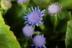 Błękitny świrzepy Ageratum houstonianum Obrazy Stock