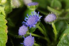 Błękitny świrzepy Ageratum houstonianum Zdjęcia Royalty Free