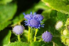 Błękitny świrzepy Ageratum houstonianum Fotografia Royalty Free