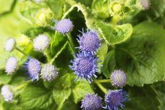 Błękitny świrzepy Ageratum houstonianum Zdjęcia Stock