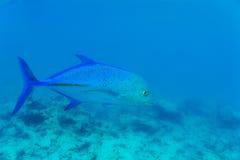 Błękitny żebro trevally, x28 &; Caranx melampygus& x29; w ocean wodzie, Maldives zdjęcia stock