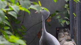 Błękitny żuraw lub Stanley żuraw zbiory wideo