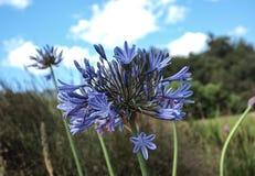 Błękitny afrykanin Lilly w Południowa Afryka Zdjęcia Stock